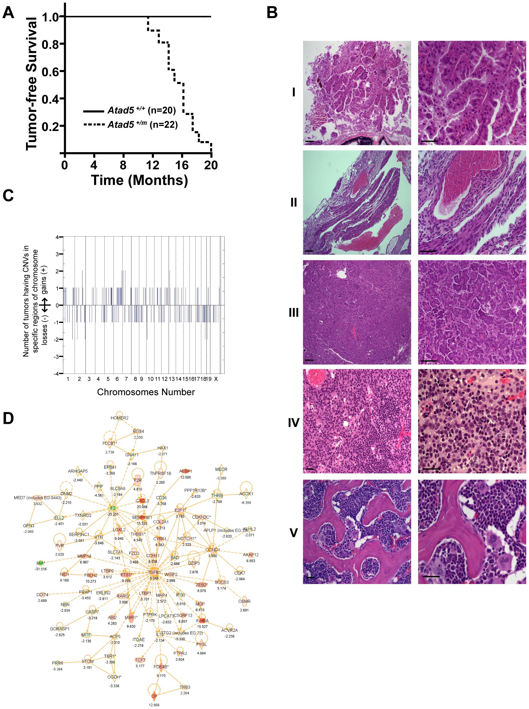 <i>Atad5<sup>+/m</sup></i> mice are tumor-prone.