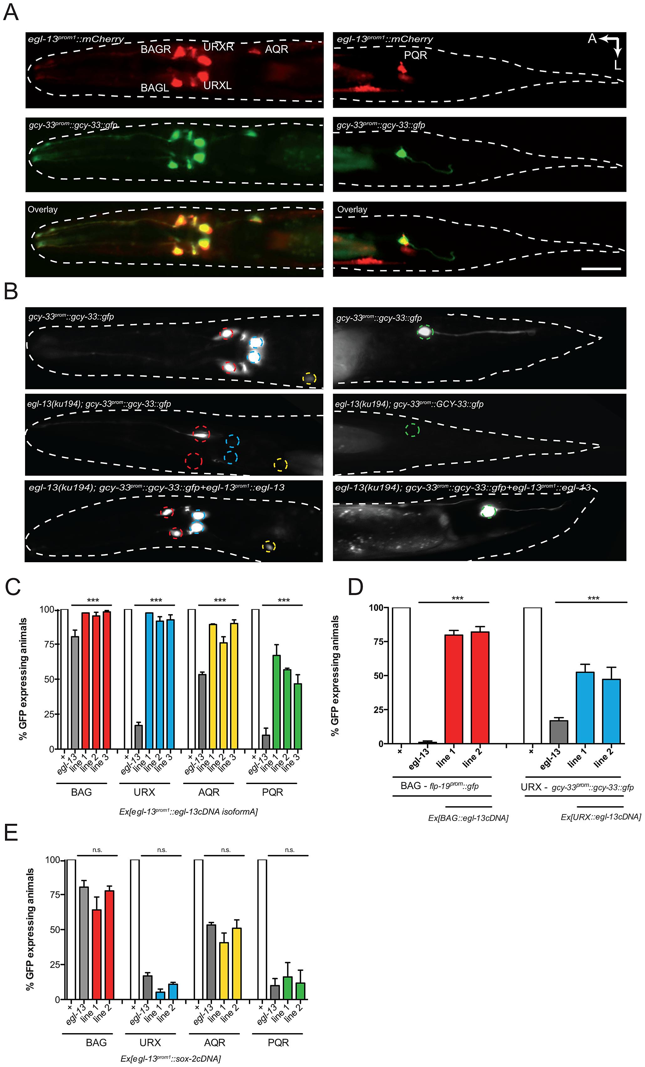 <i>egl-13</i> functions cell autonomously to drive O<sub>2</sub>- and CO<sub>2</sub>-sensing neuron cell fate.