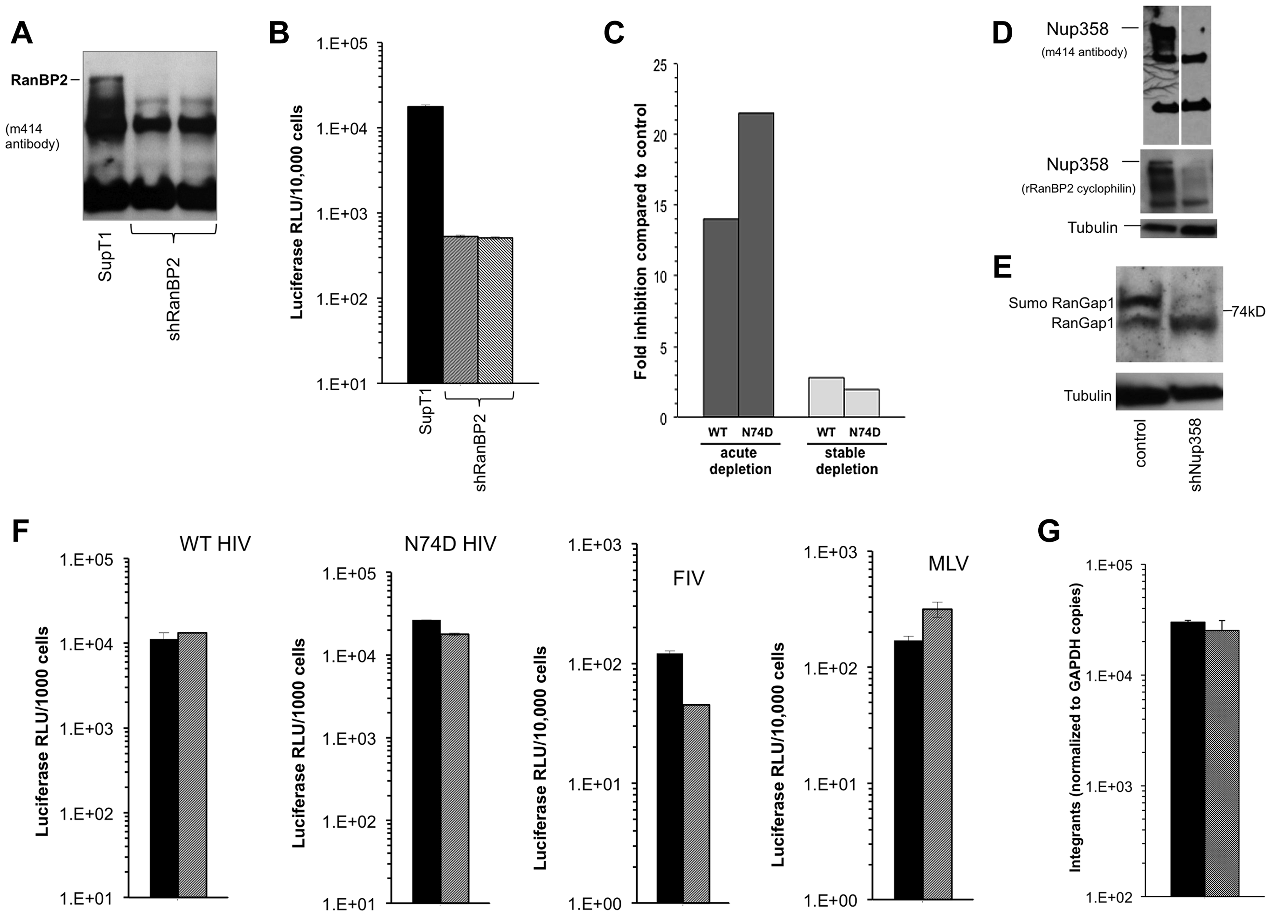 Acute and stable Nup358 depletion in human CD4+ T cells.
