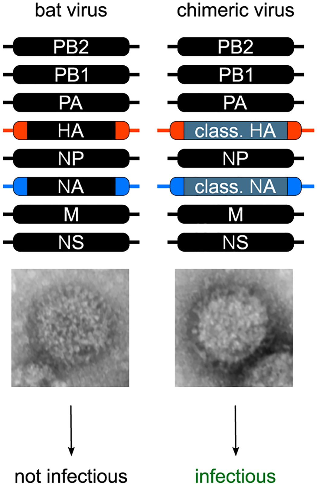 Generation of recombinant bat chimeric influenza viruses.