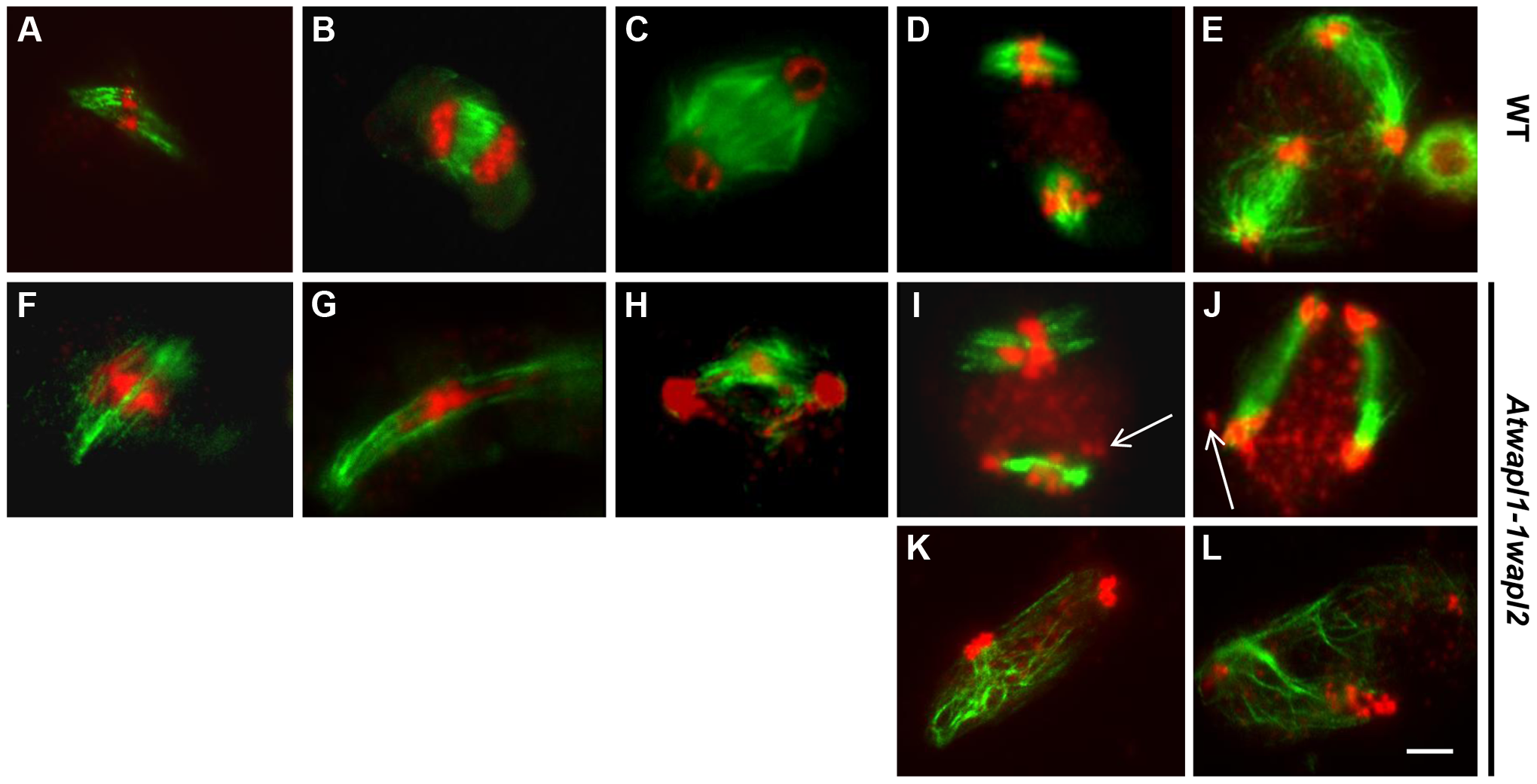 Meiotic spindle assembly and structure is altered in <i>wapl</i> plants.