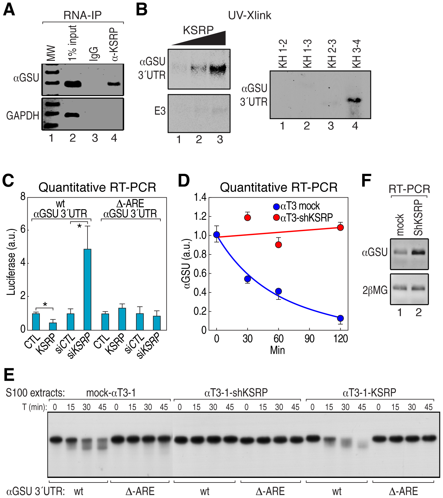KSRP is required for αGSU mRNA degradation.