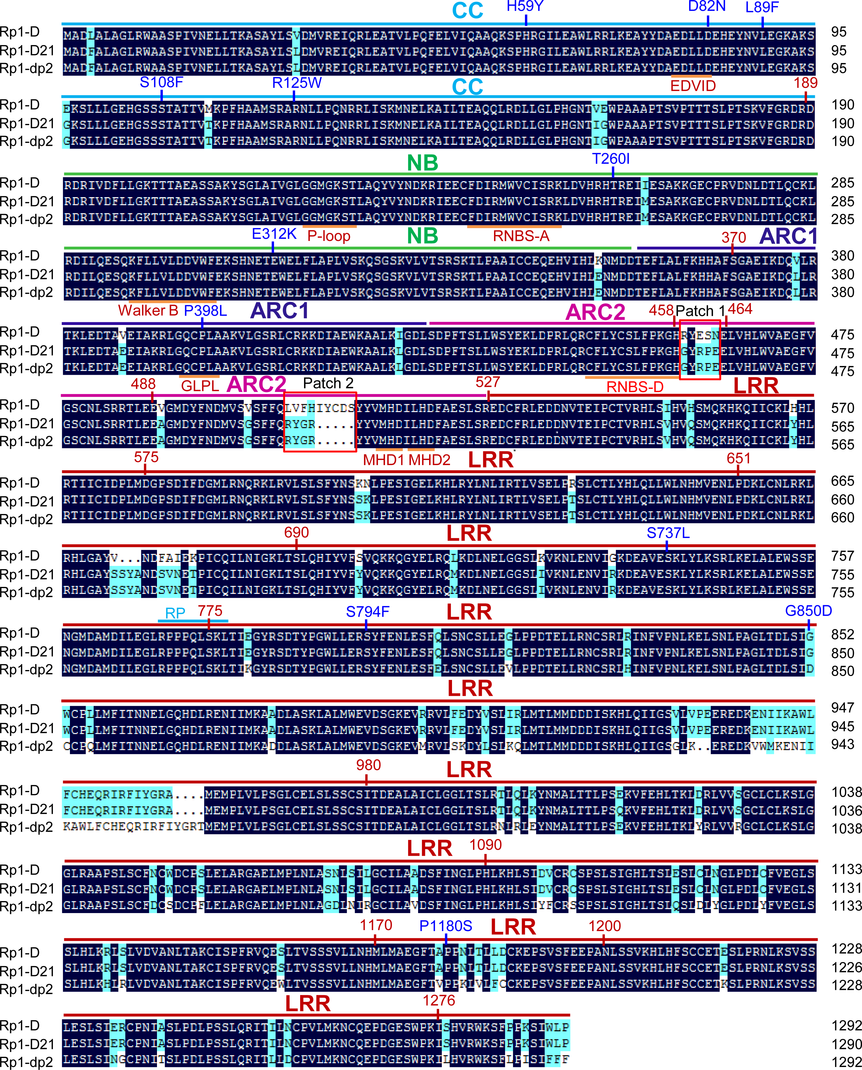 Sequence alignment of Rp1-D, Rp1-dp2 and Rp1-D21.
