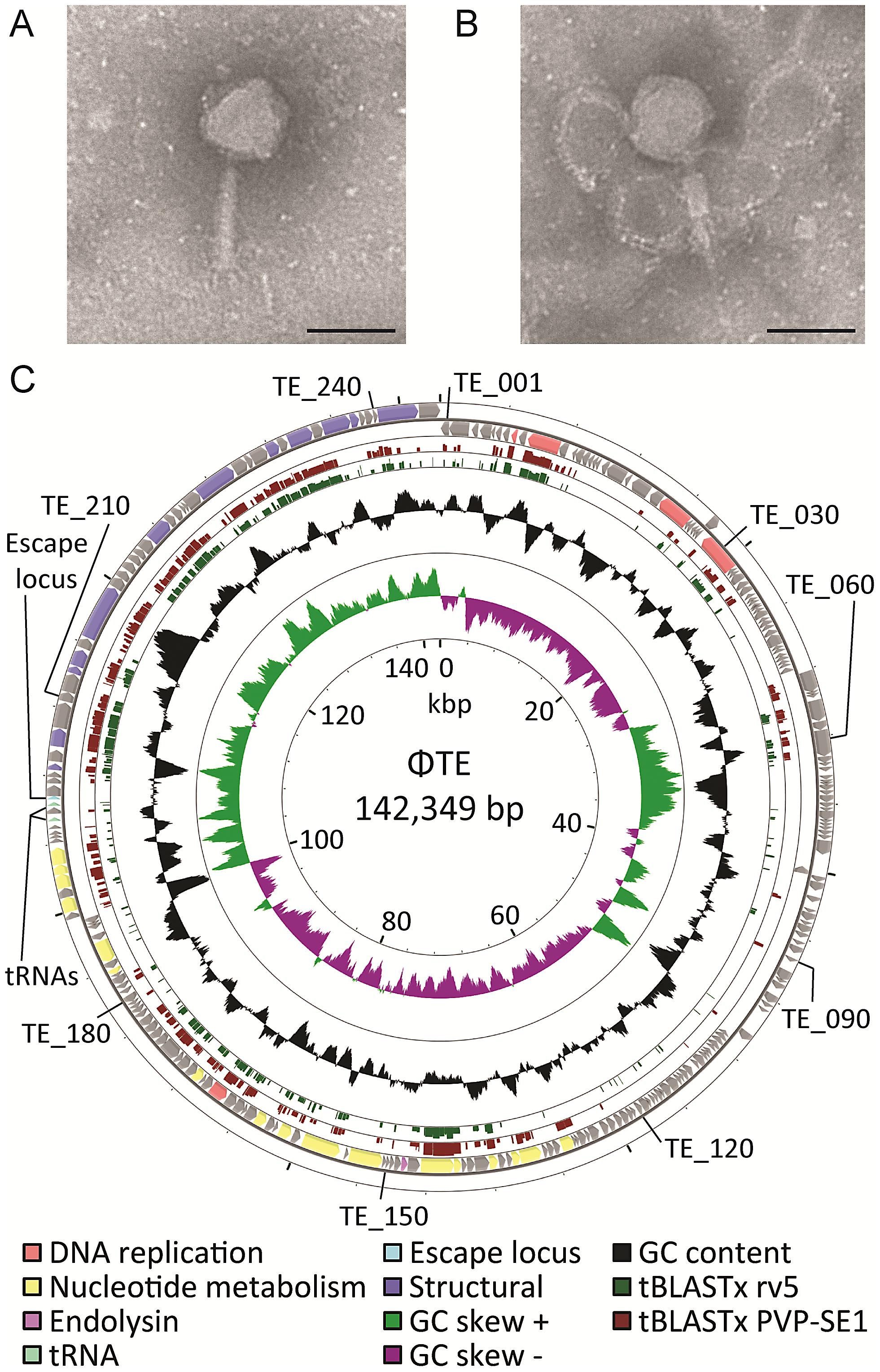 ΦTE morphology and genome overview.