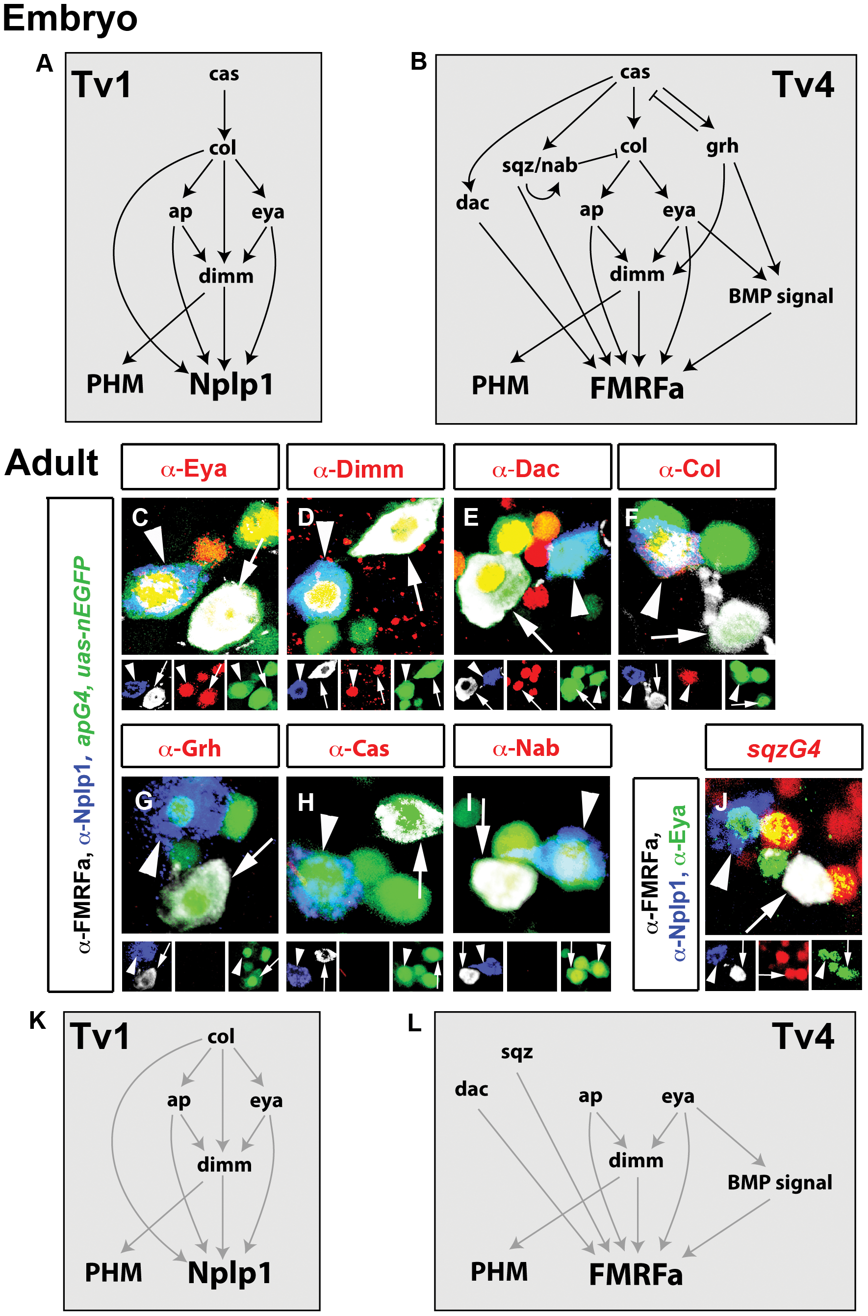 Adult Tv1 and Tv4 neurons maintain Nplp1 and FMRFa and a subset of embryonic transcription factors.