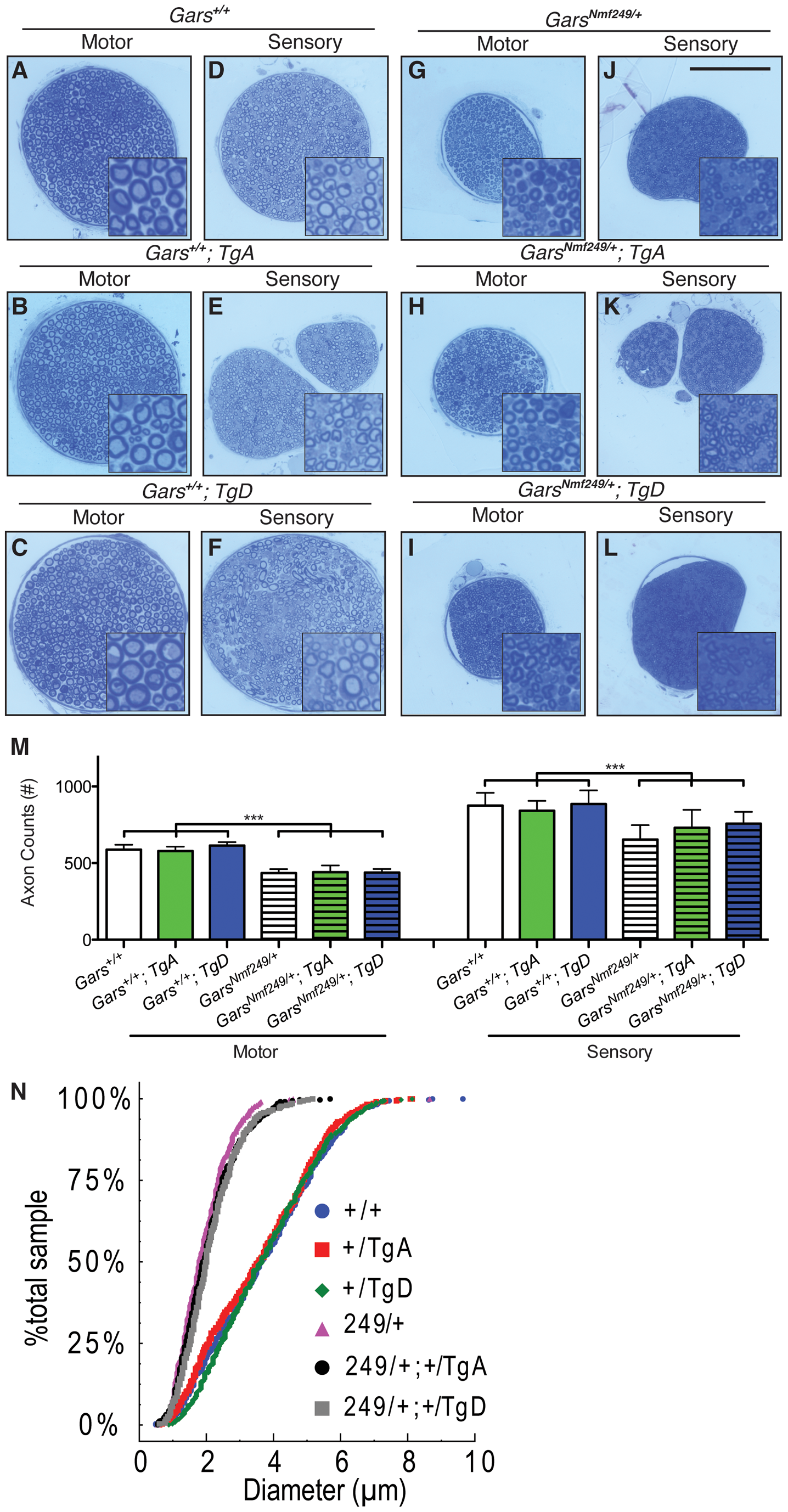 Neither motor nor sensory axon loss in <i>Nmf249/+</i> mice is abated by transgenes A or D.
