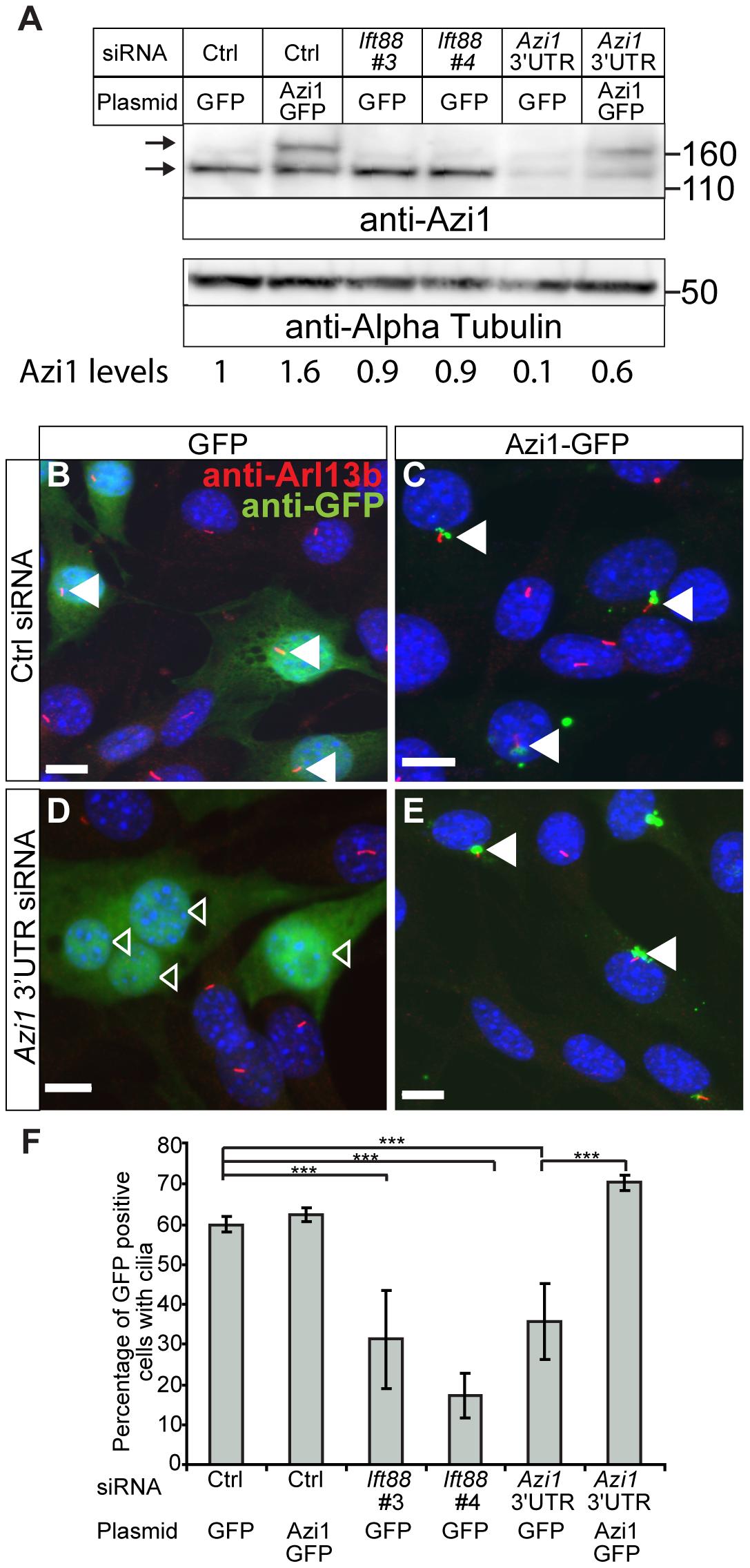 <i>Azi1</i> knock-down leads to reduced ciliogenesis.