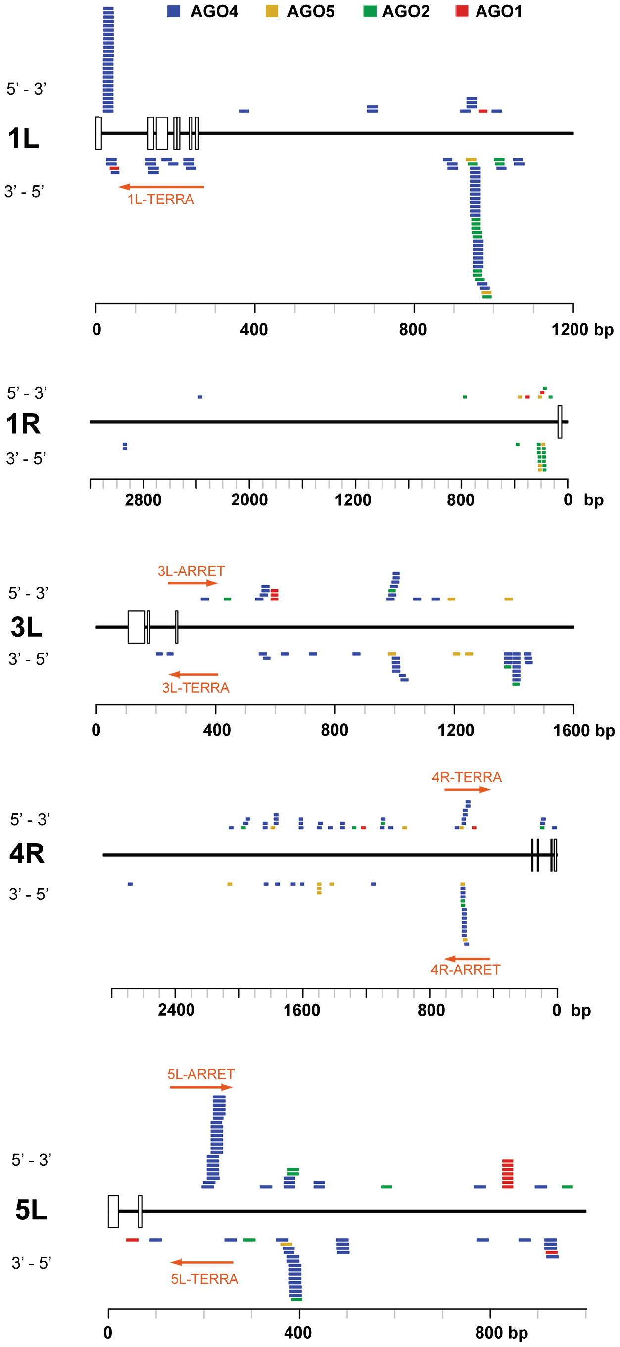 Distribution of Argonaute-associated siRNAs in telomere-adjacent regions.