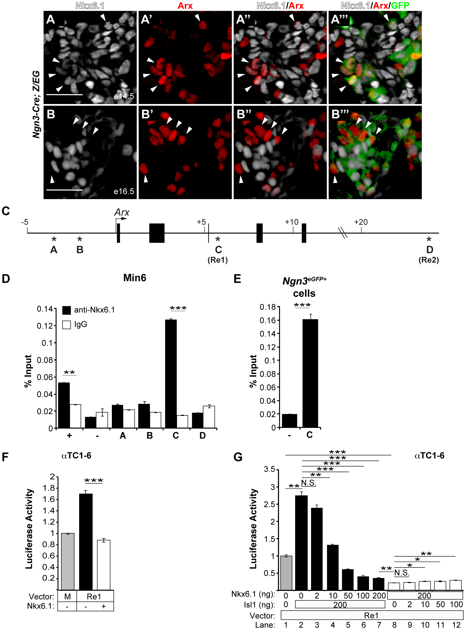 Nkx6.1 and Isl1 function as antagonistic transcriptional regulators of the <i>Arx Re1</i> enhancer.