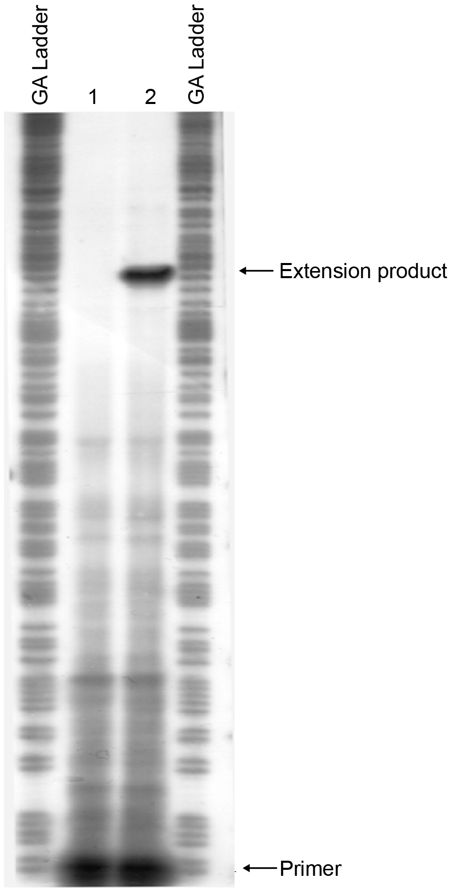 Mapping the start site of transcription of the <i>mrkA</i> promoter by primer extension.