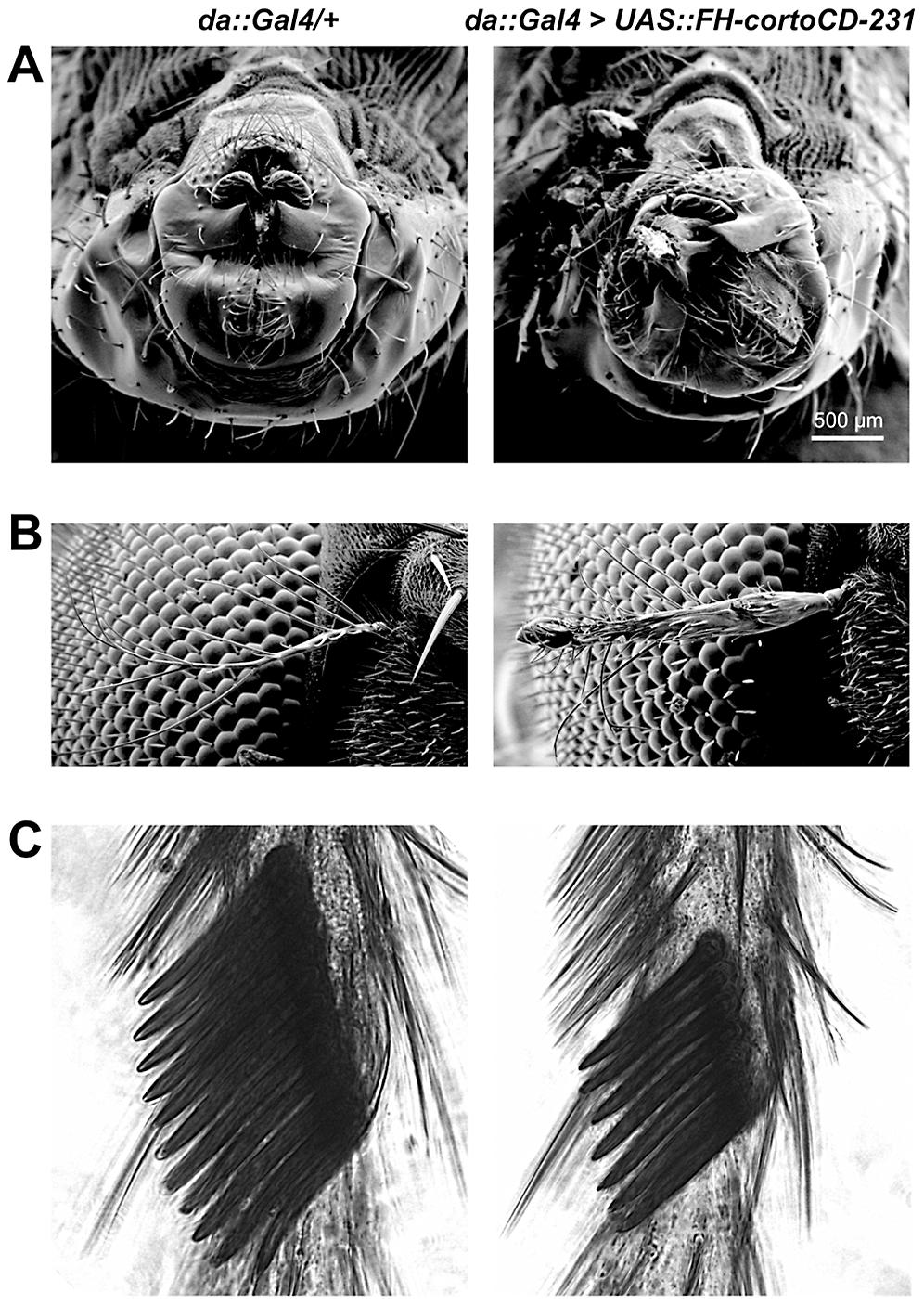 Phenotype of transgenic flies over-expressing <i>cortoCD</i>.