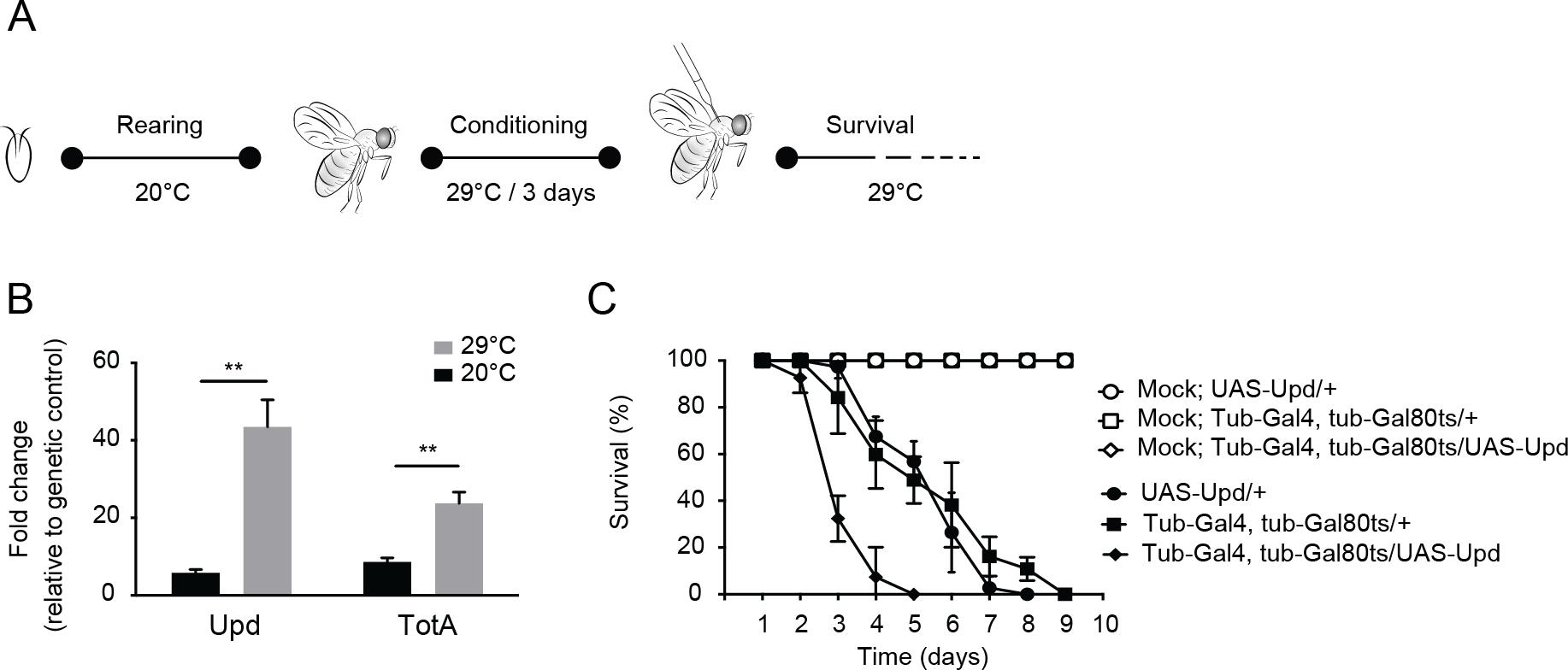 Hyperactivation of the Jak-Stat pathway renders flies hypersensitive to virus infection.