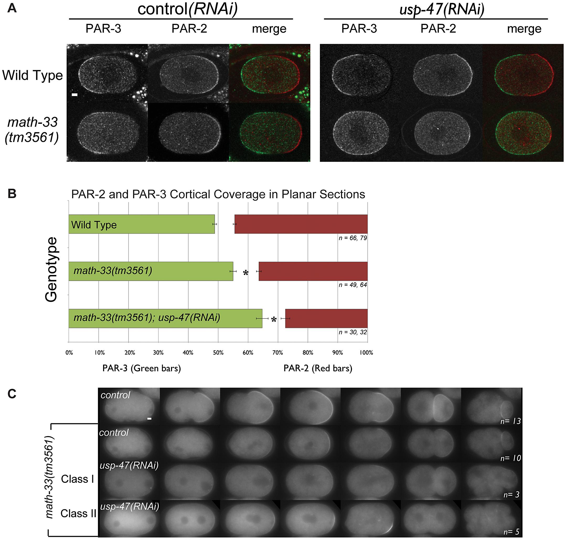 Polarity defects in <i>math-33(tm3561);usp-47(RNAi)</i> embryos.