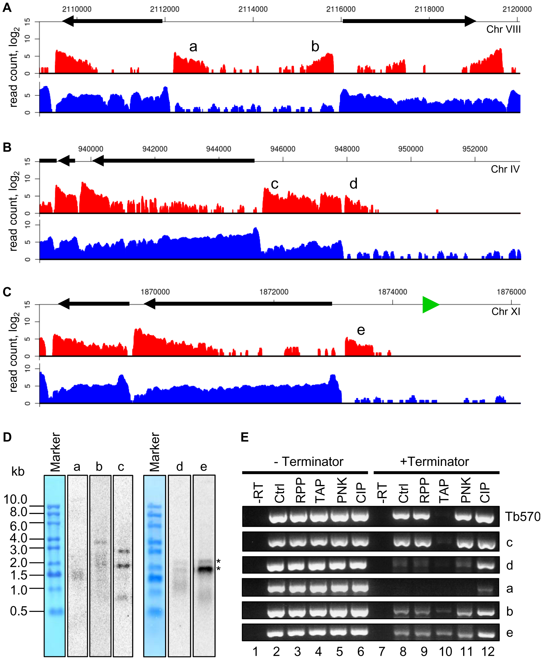 Polyadenylated transcripts without the SL sequence at suspected Pol II start sites.