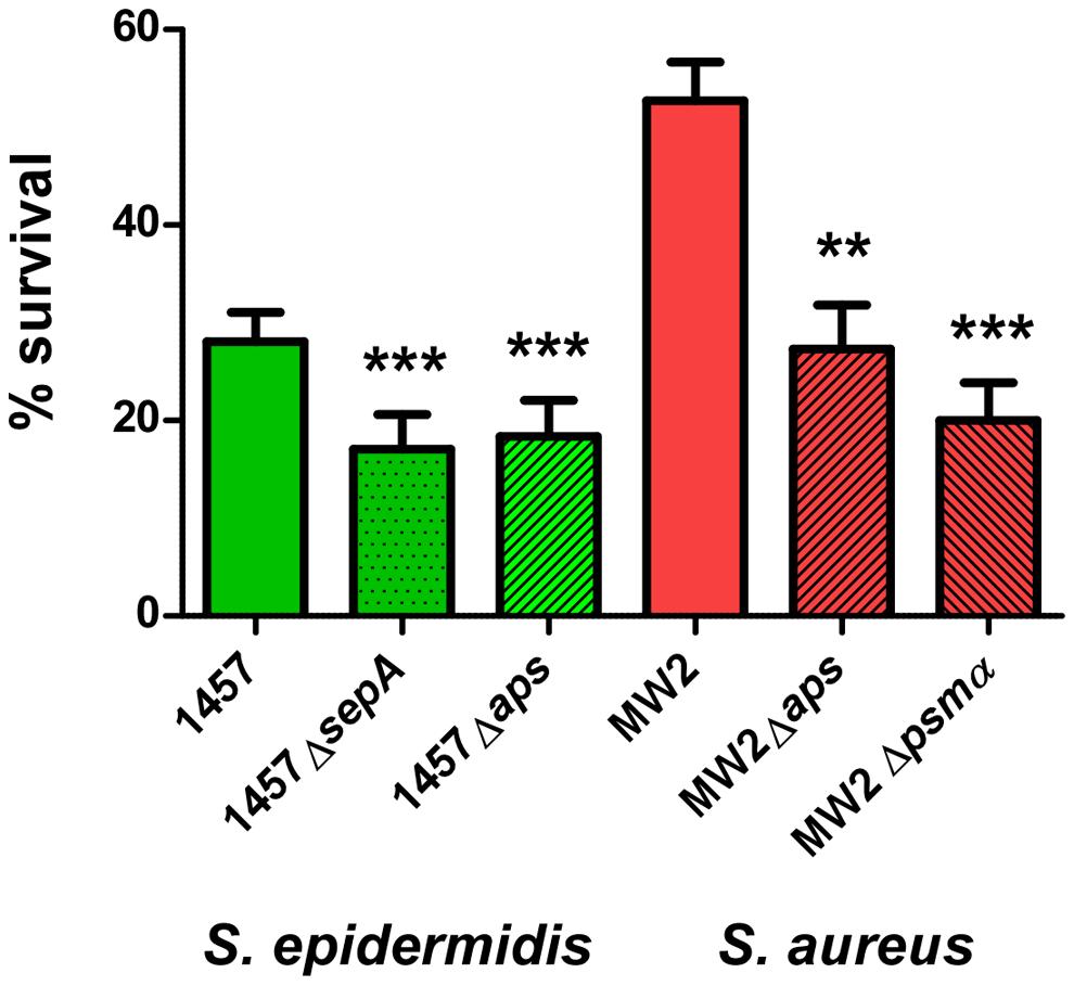 Survival of <i>aps</i> and <i>sepA</i> deletion mutants in human neutrophils.