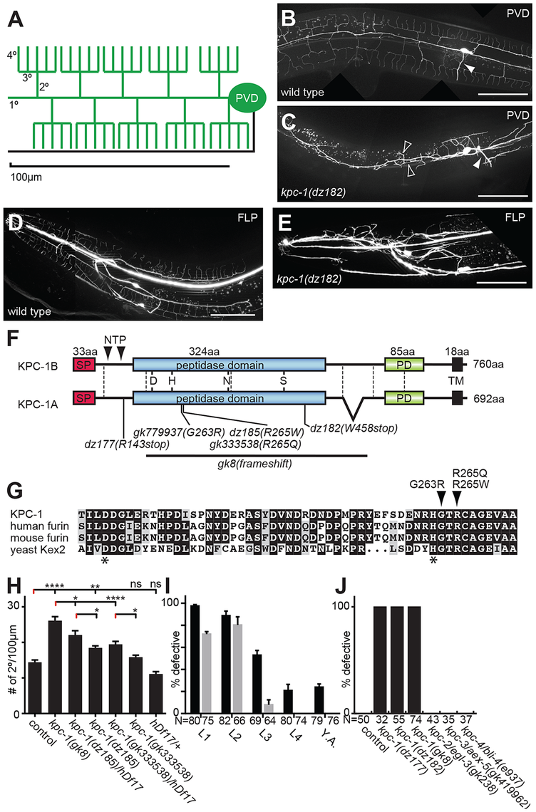 KPC-1 is required for development of dendritic arbors.