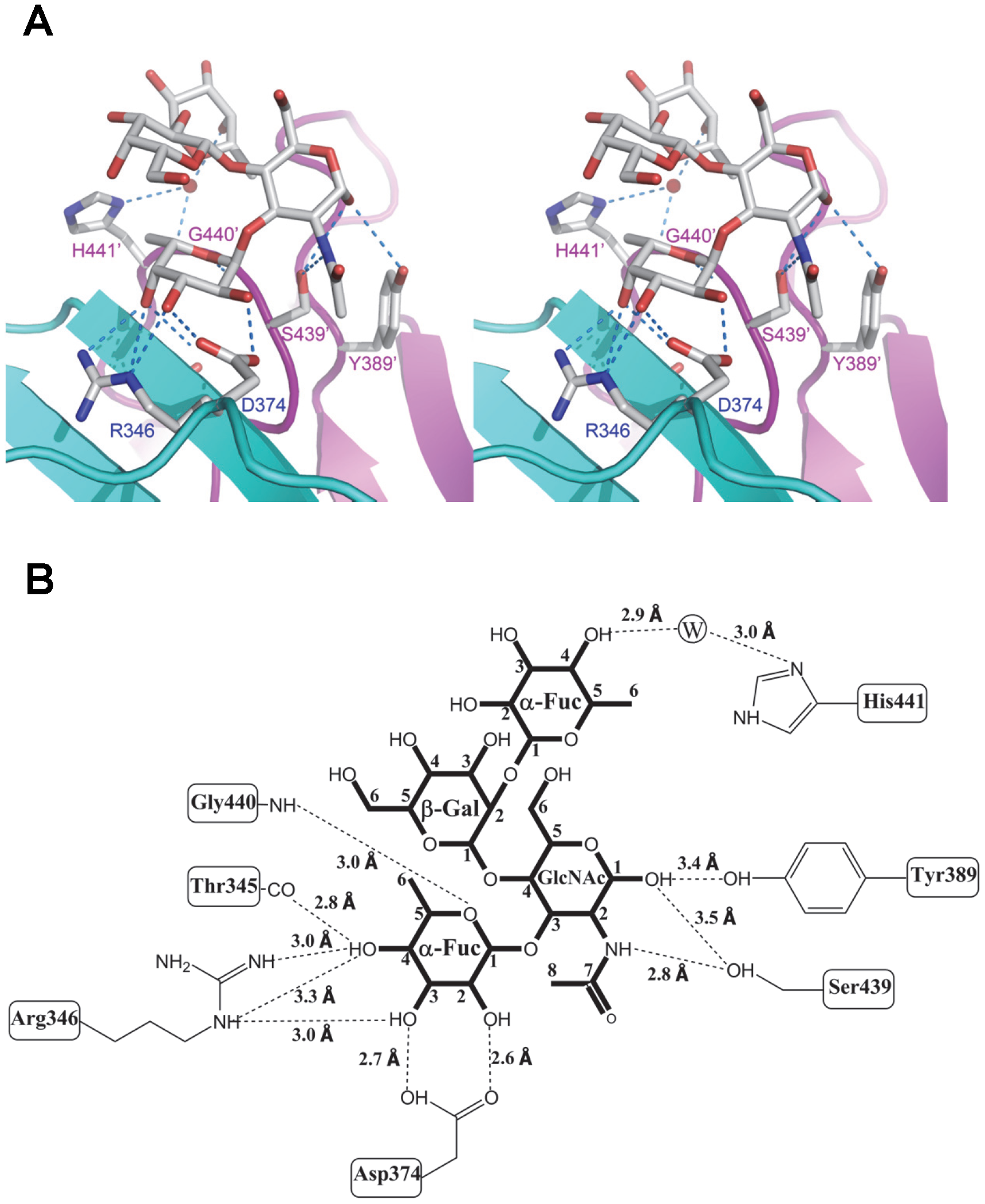 Extensive interaction network between VA207 P dimer and Lewis Y tetrasaccharide.