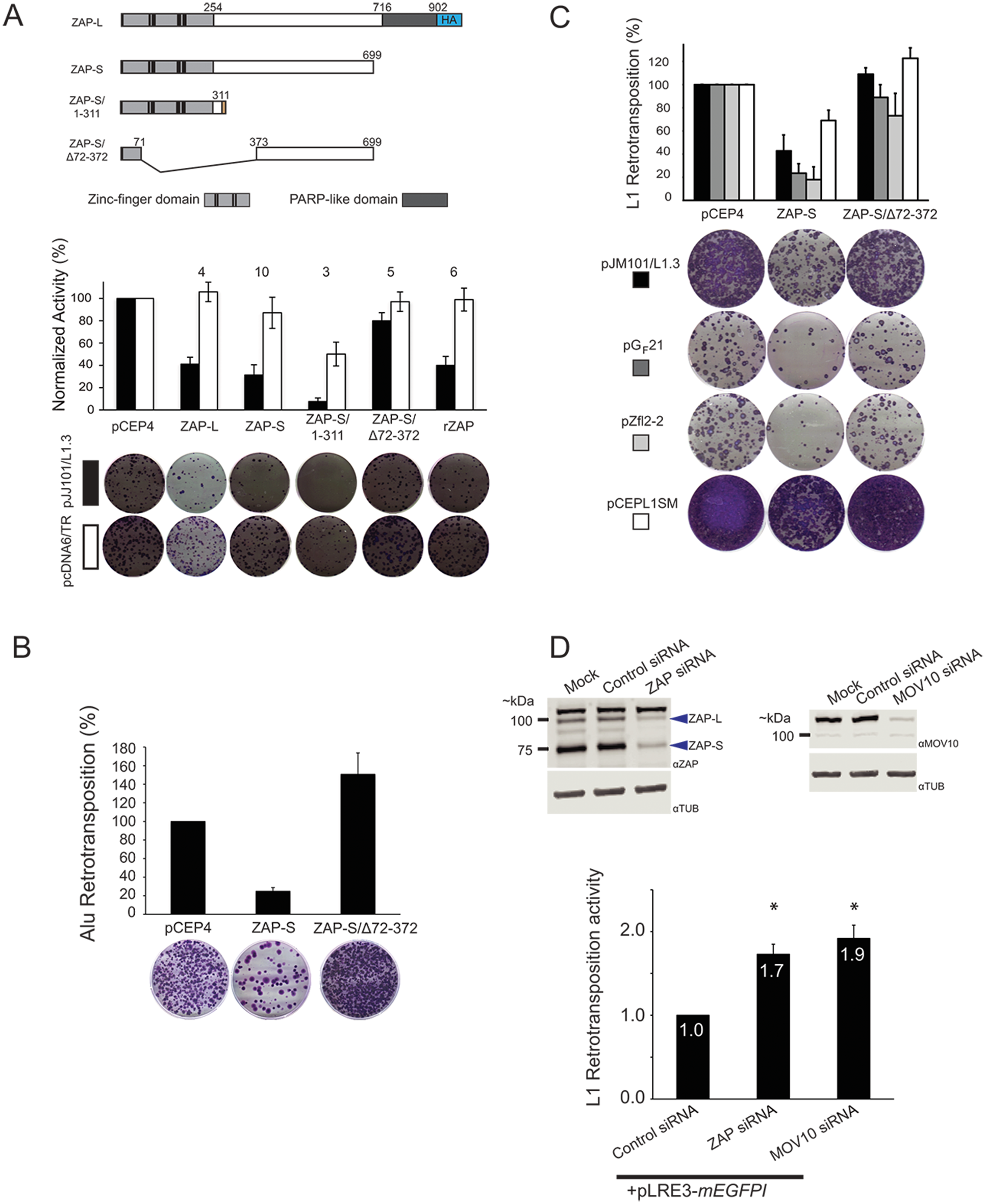 ZAP-S inhibits LINE and Alu retrotransposition.