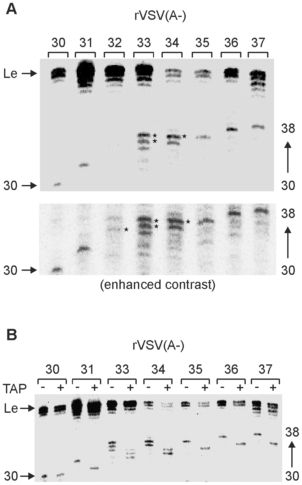 Determination to a single nucleotide the length at which VSV mRNA gets capped.