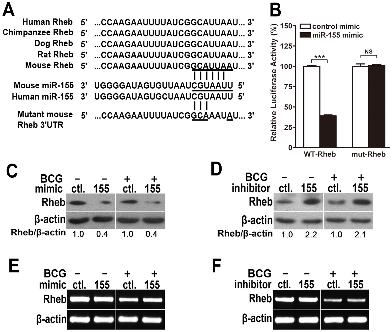 miR-155 post-transcriptionally represses Rheb expression by targeting its 3′UTR.