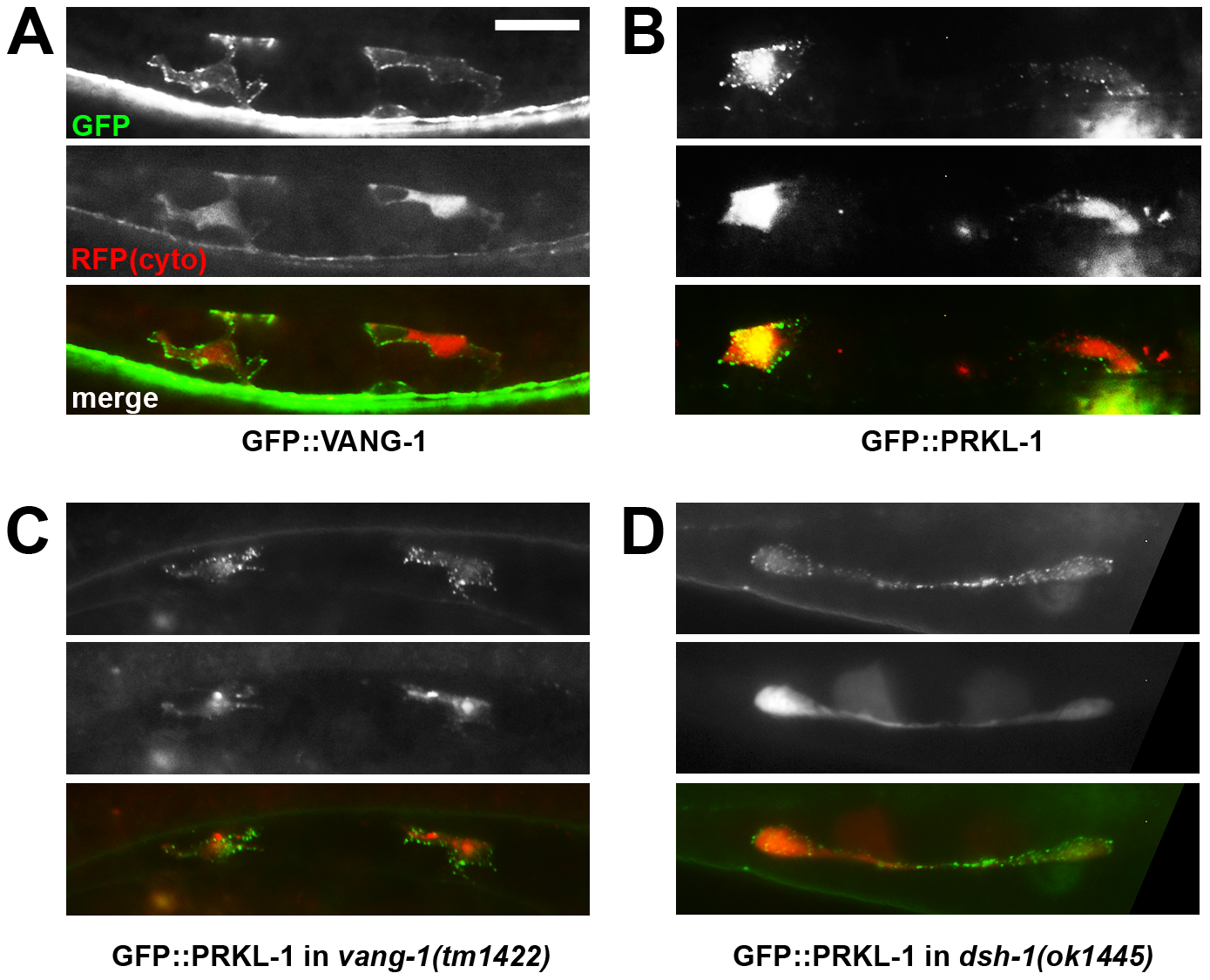 PRKL-1 and VANG-1-GFP fusions in VC neurons are localized to the plasma membrane.