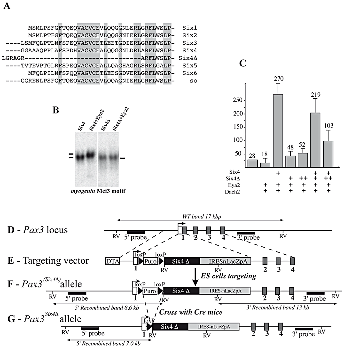 Targeting of a sequence encoding dominant negative Six4 into the <i>Pax3</i> locus.