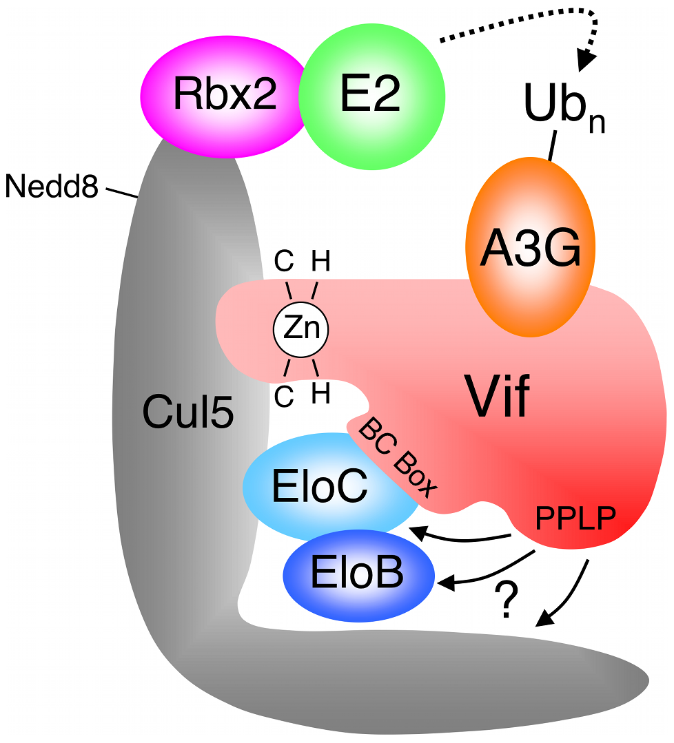 HIV-1 Vif forms an E3 complex to promote the degradation of A3G.