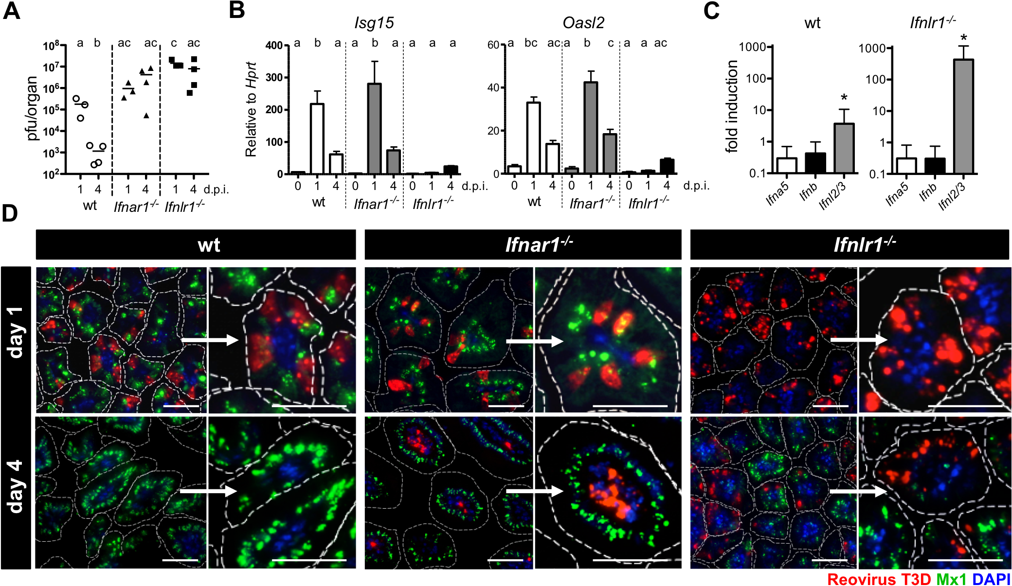 Timely IFN-λ production by epithelial cells drives rapid clearance of intestinal reovirus infection.