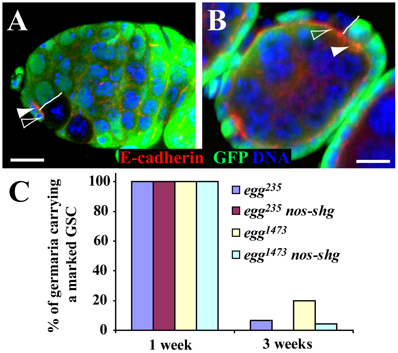 <i>egg</i> is dispensable intrinsically for maintaining E-cadherin accumulation in the GSC-niche junction.