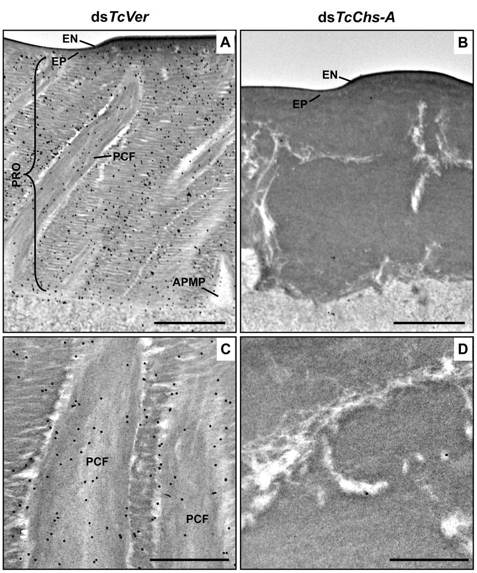Wheat germ agglutinin (WGA)-gold labeling TEM of dorsal elytral cuticle of <i>T</i>. <i>castaneum</i>.