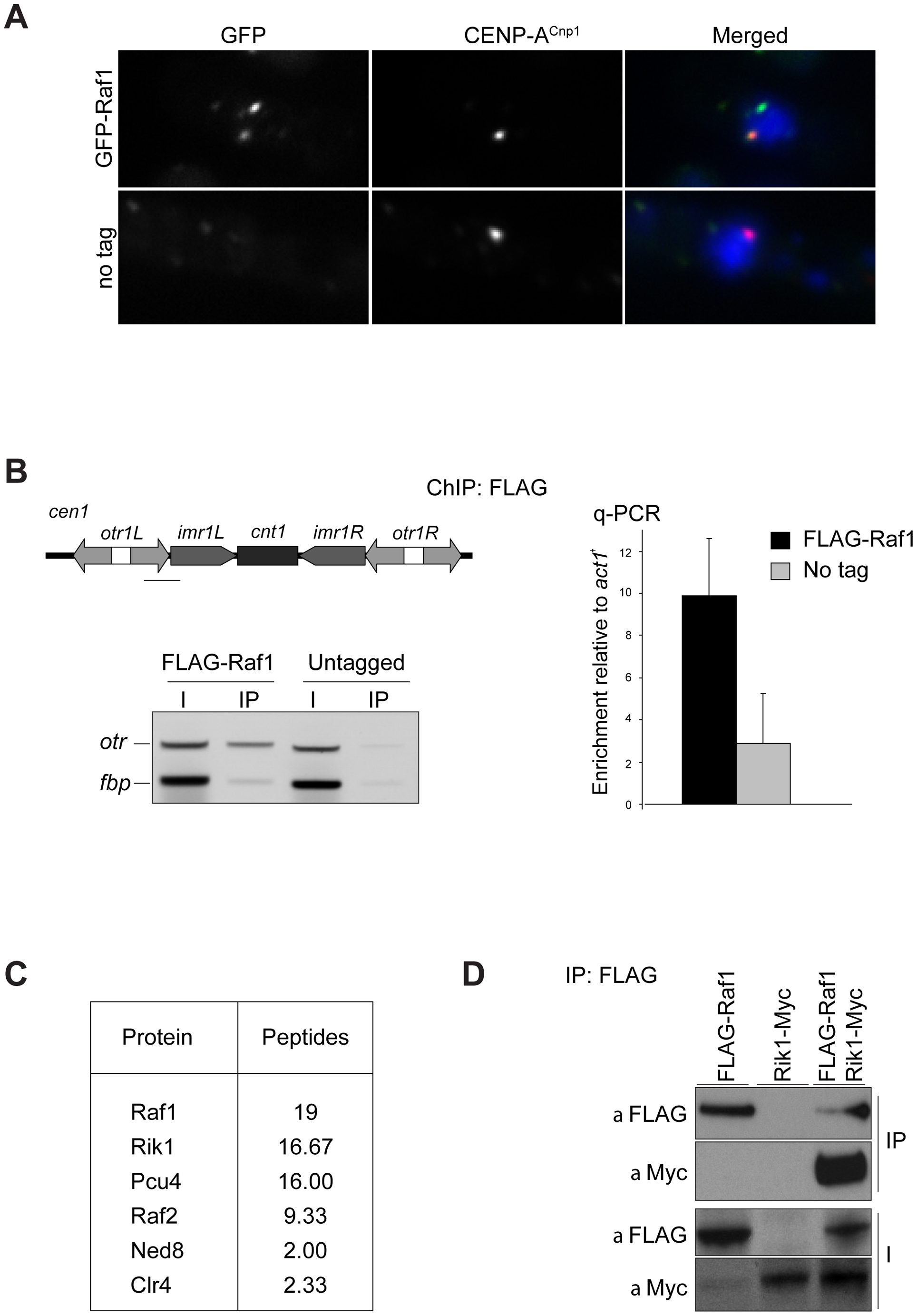Raf1 is a chromatin-associated CLRC component.
