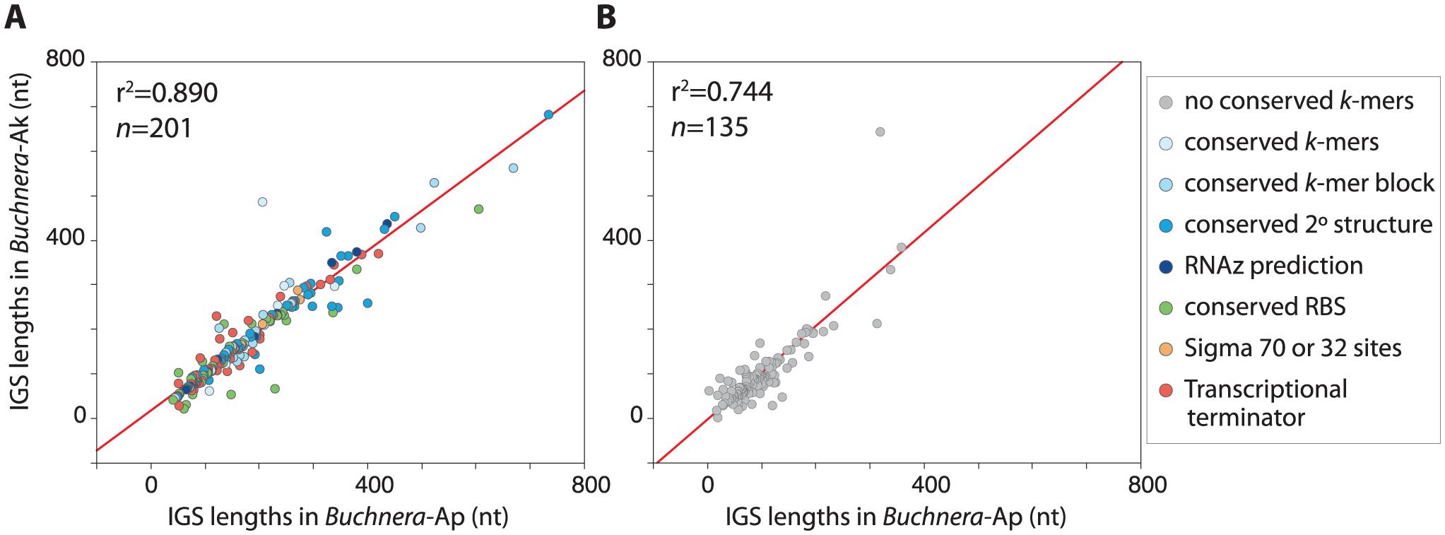 Lengths of orthologous IGSs in <i>Buchnera</i>-Ap and <i>Buchnera</i>-Ak.