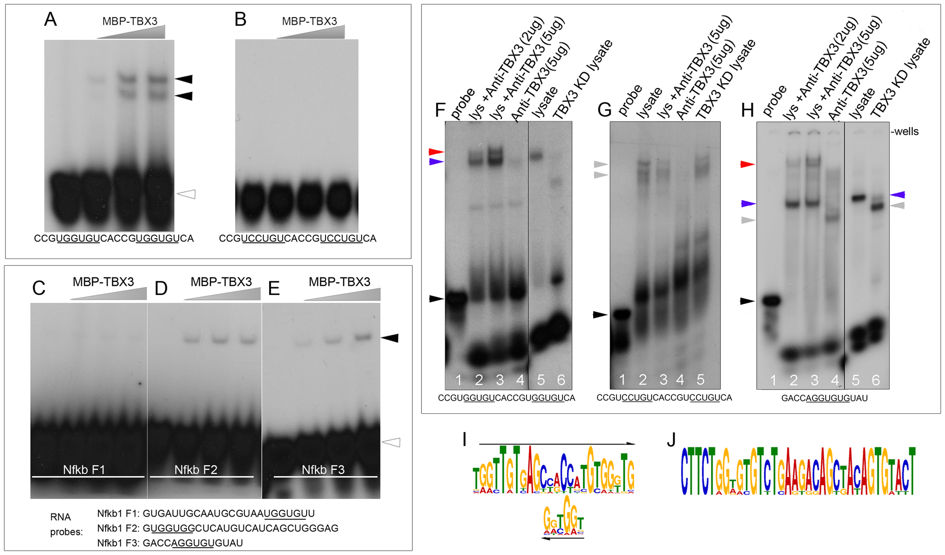 TBX3 binds TBE-containing RNAs directly.