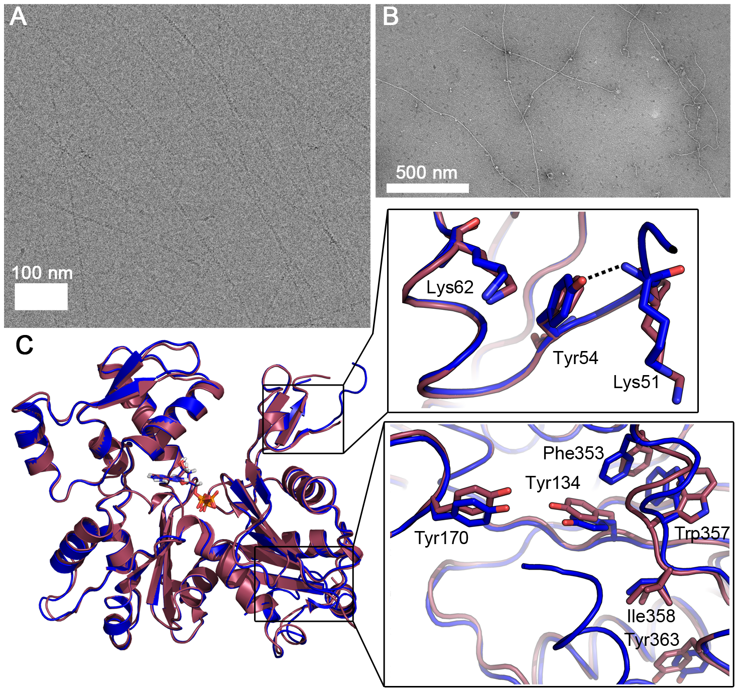 <i>Plasmodium</i> actin I–α-actin chimera forms long filaments.