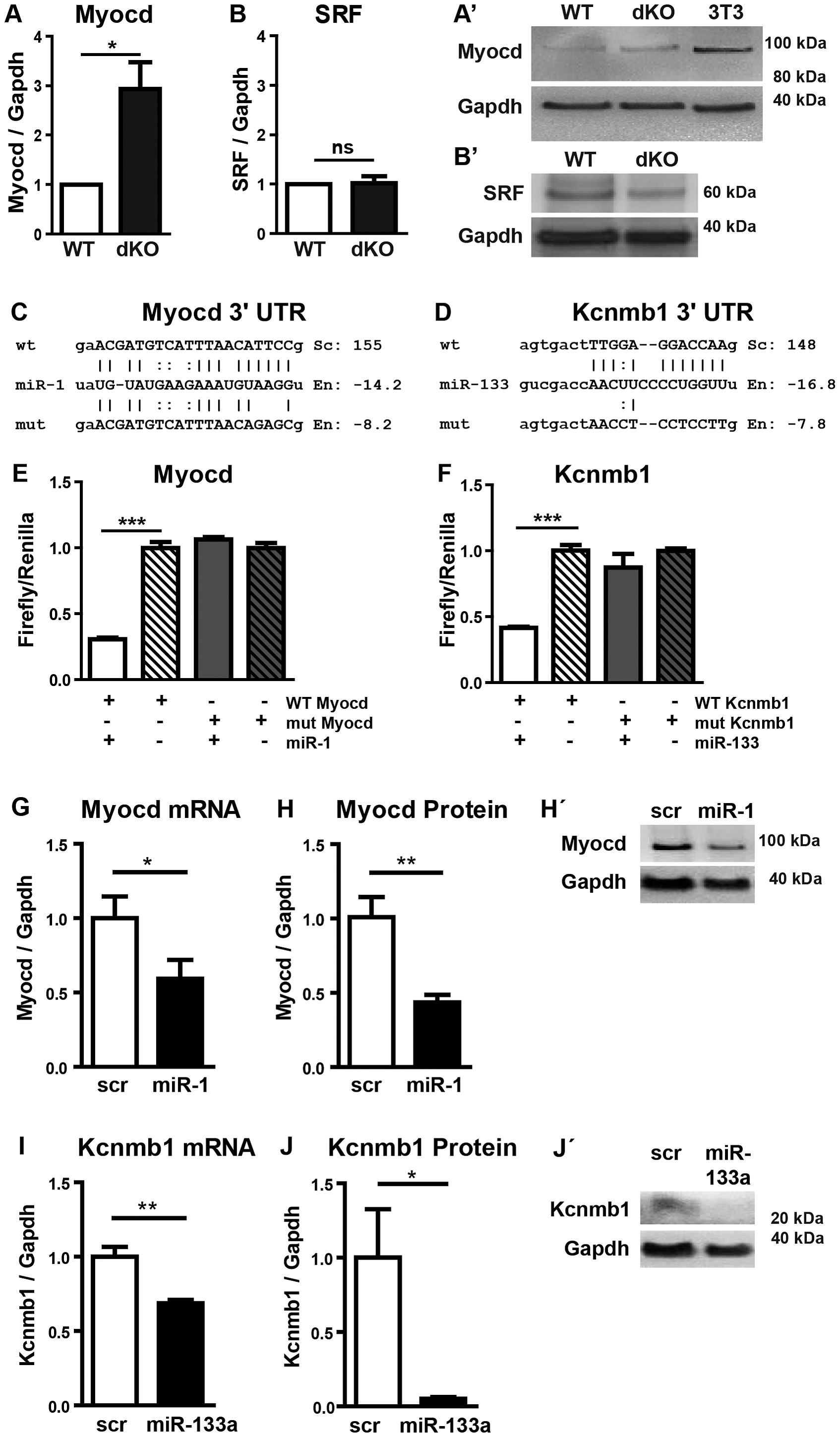 Myocardin is a primary target of miR-1 in the embryonic heart.