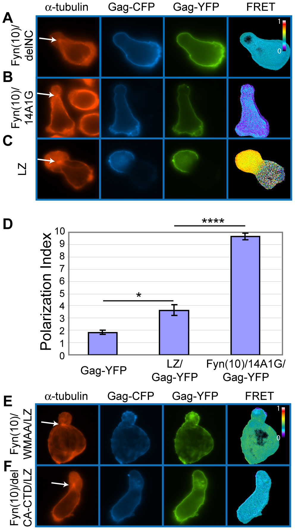 Higher-order multimerization mediated by NC is required for Gag localization to the uropod.