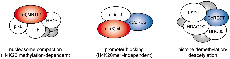L(3)mbt and LSD1/CoREST complexes.