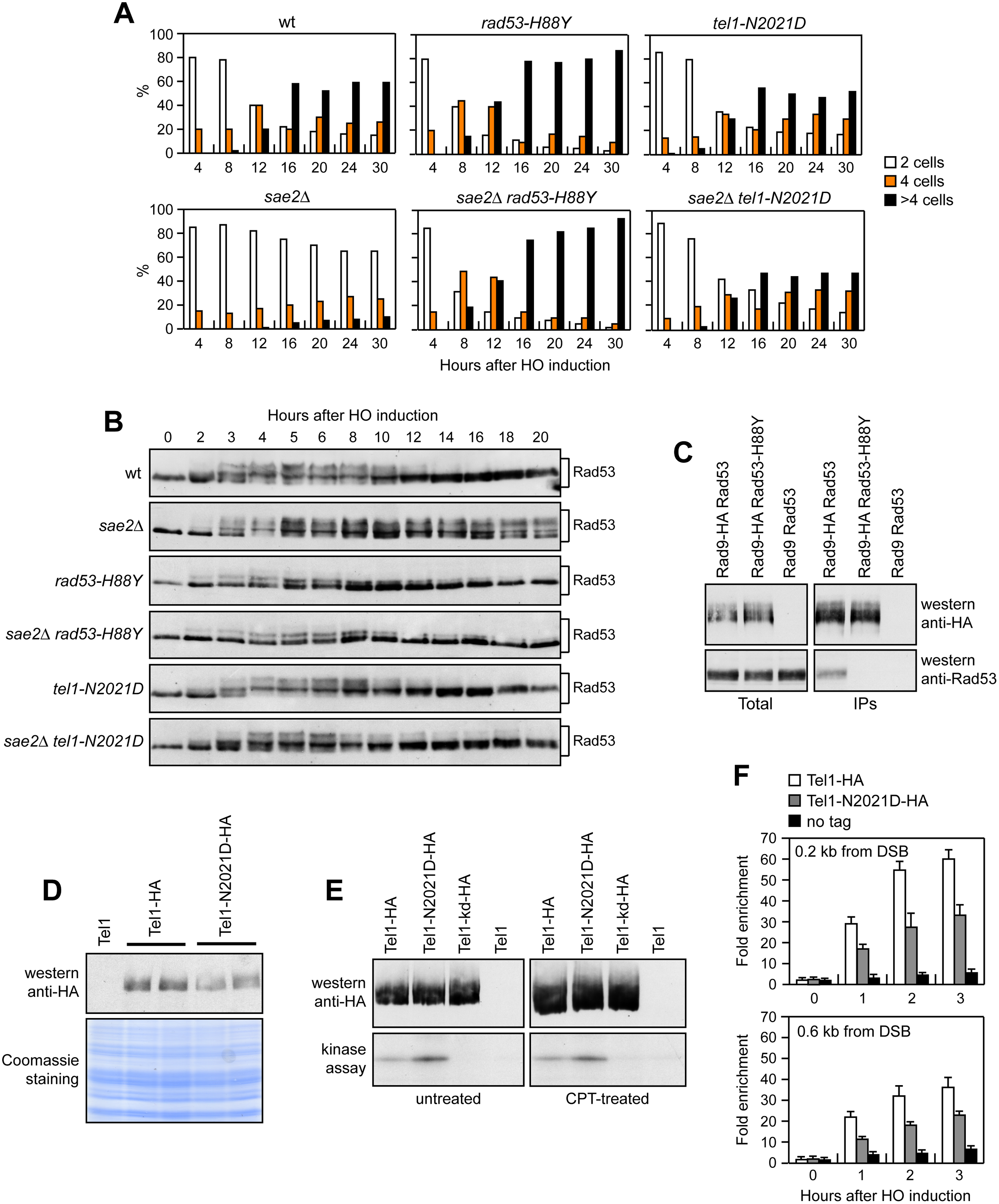 Rad53-H88Y and Tel1-N2021D suppress the checkpoint shut off defect of <i>sae2</i>Δ cells.