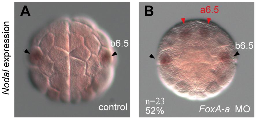 <i>FoxA-a</i> negatively regulates <i>Nodal</i> expression in the anterior neural cells.