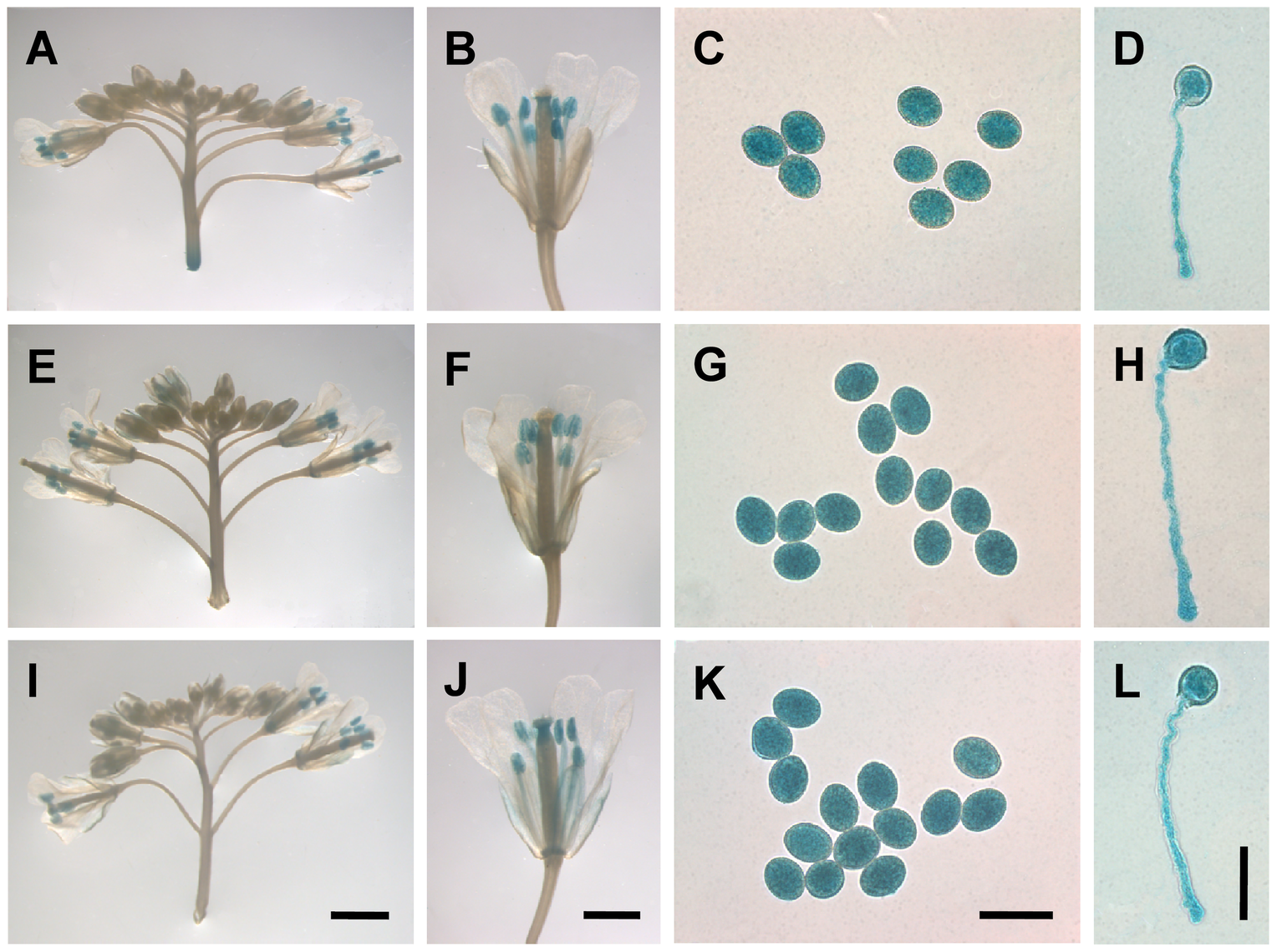 <i>MYB97</i>, <i>MYB101</i> and <i>MYB120</i> were expressed in pollen grains and pollen tubes.