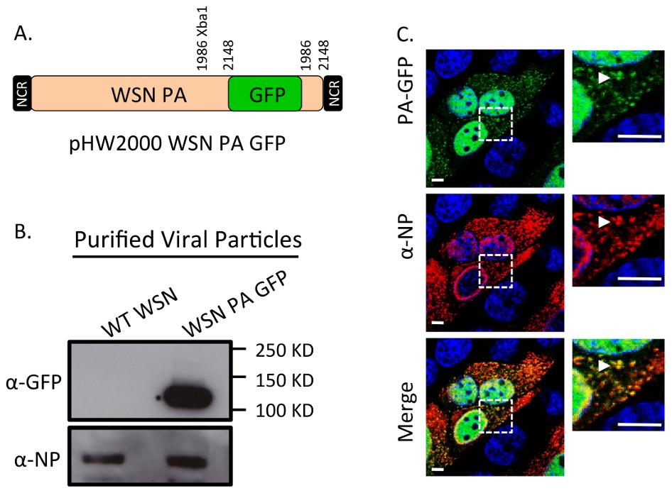 Generation of WSN PA-GFP influenza virus.