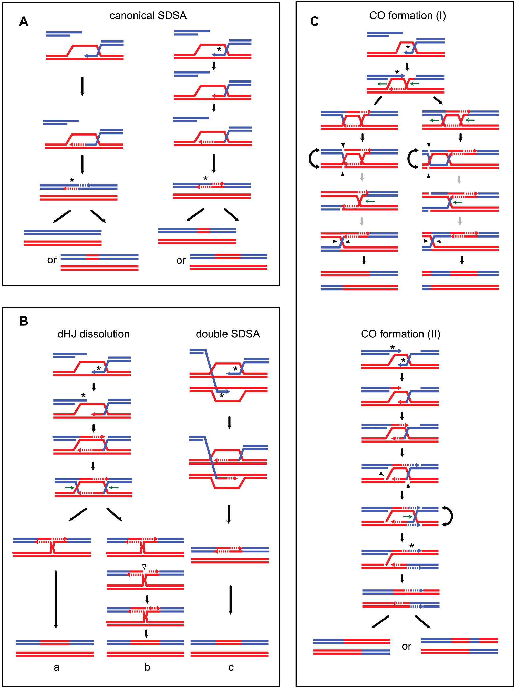 MMR–dependent conversion of transient hDNAs reconciles strand transfer patterns observed in the presence of Msh2 with those observed in the absence of Msh2.