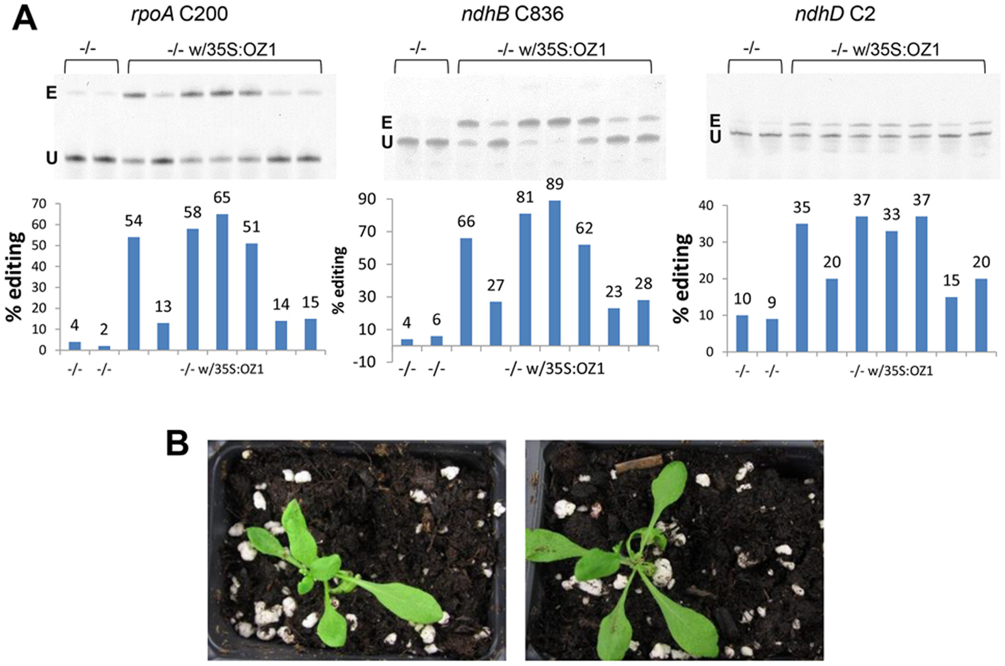 Stable expression of <i>OZ1</i> under a 35S promoter in <i>oz1</i> mutant plants complements the editing and phenotypic defects.