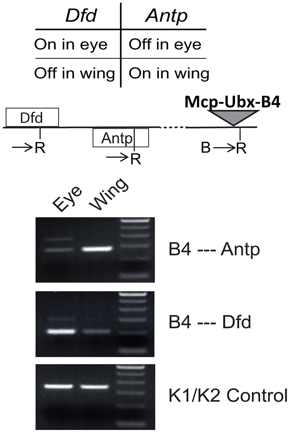 An active transgene interacts only with active endogenous homeotic genes.