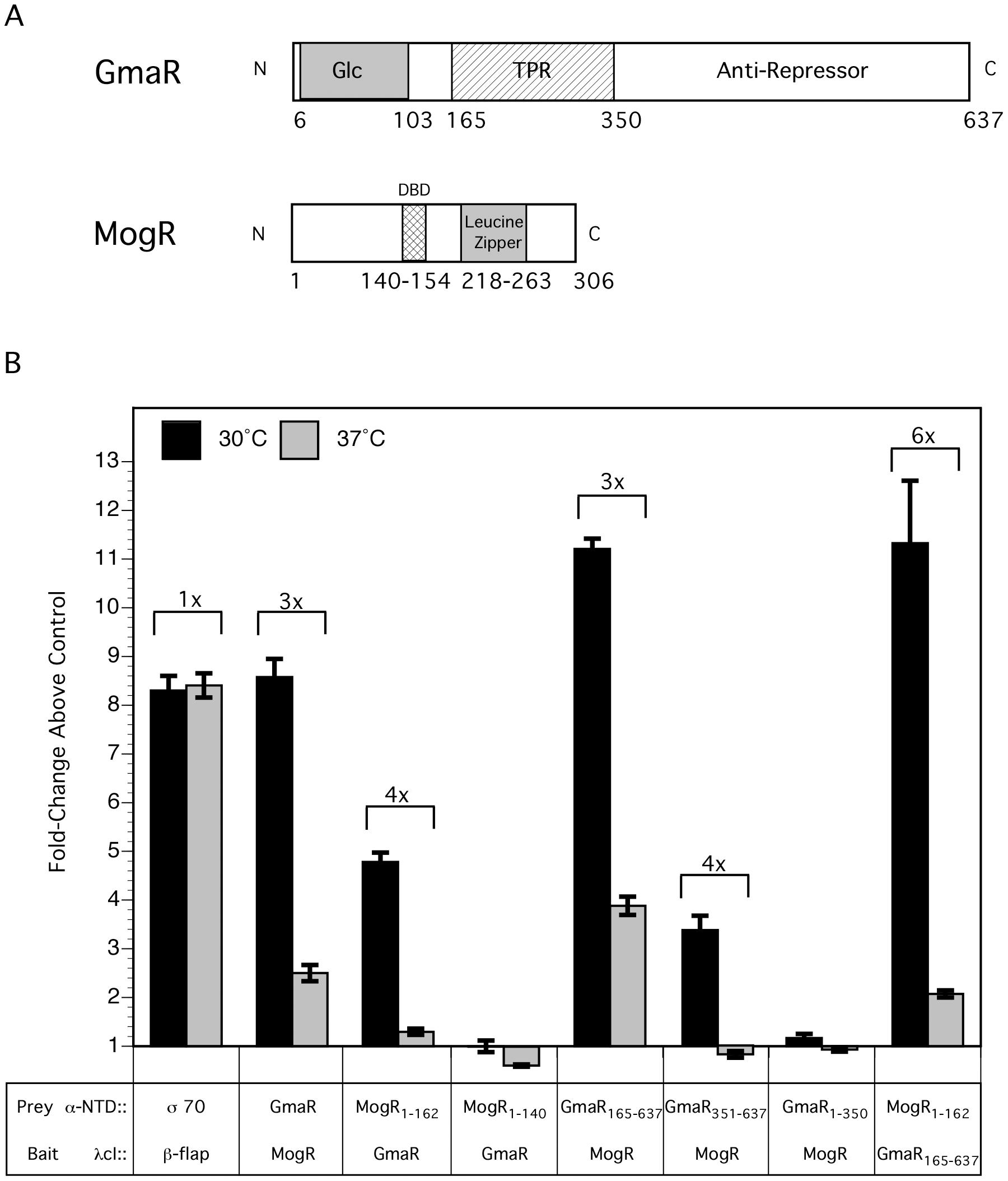 The interaction between GmaR and MogR is temperature-sensitive.