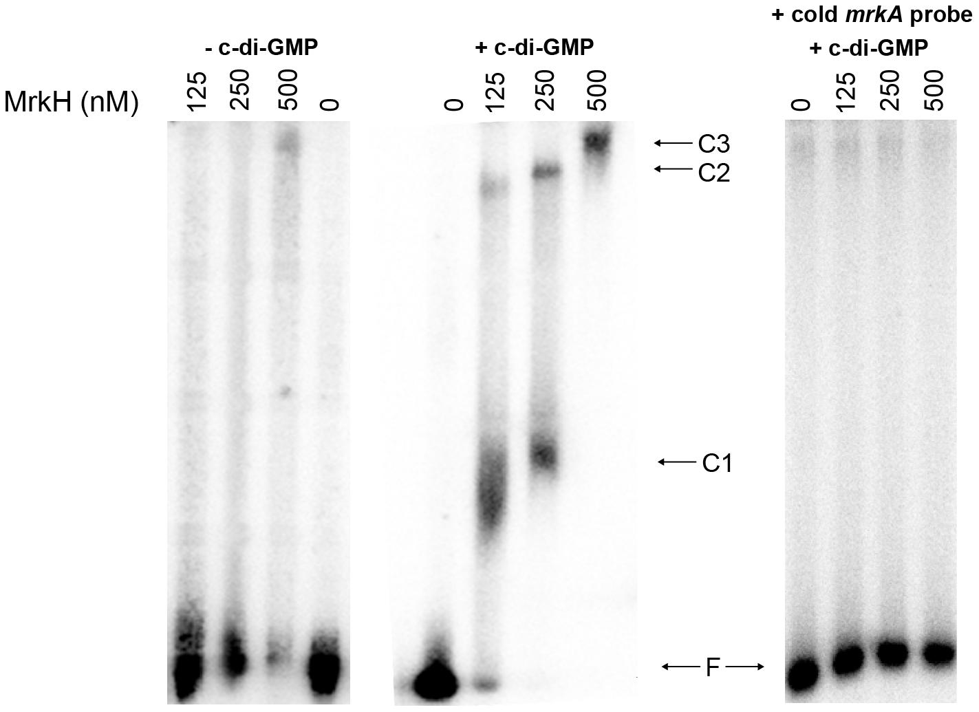 Analysis of the binding of MrkH-8×His to the <i>mrkA</i> regulatory region by EMSA.