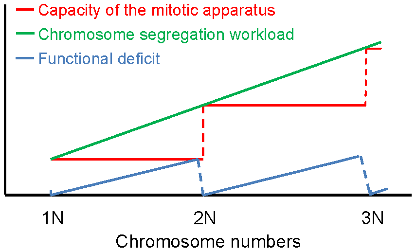 Model of discrete scaling of the functionality of the mitotic system.
