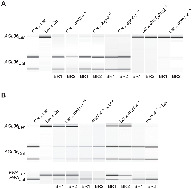 The effect of DNA methylation on parental <i>AGL36</i> expression.