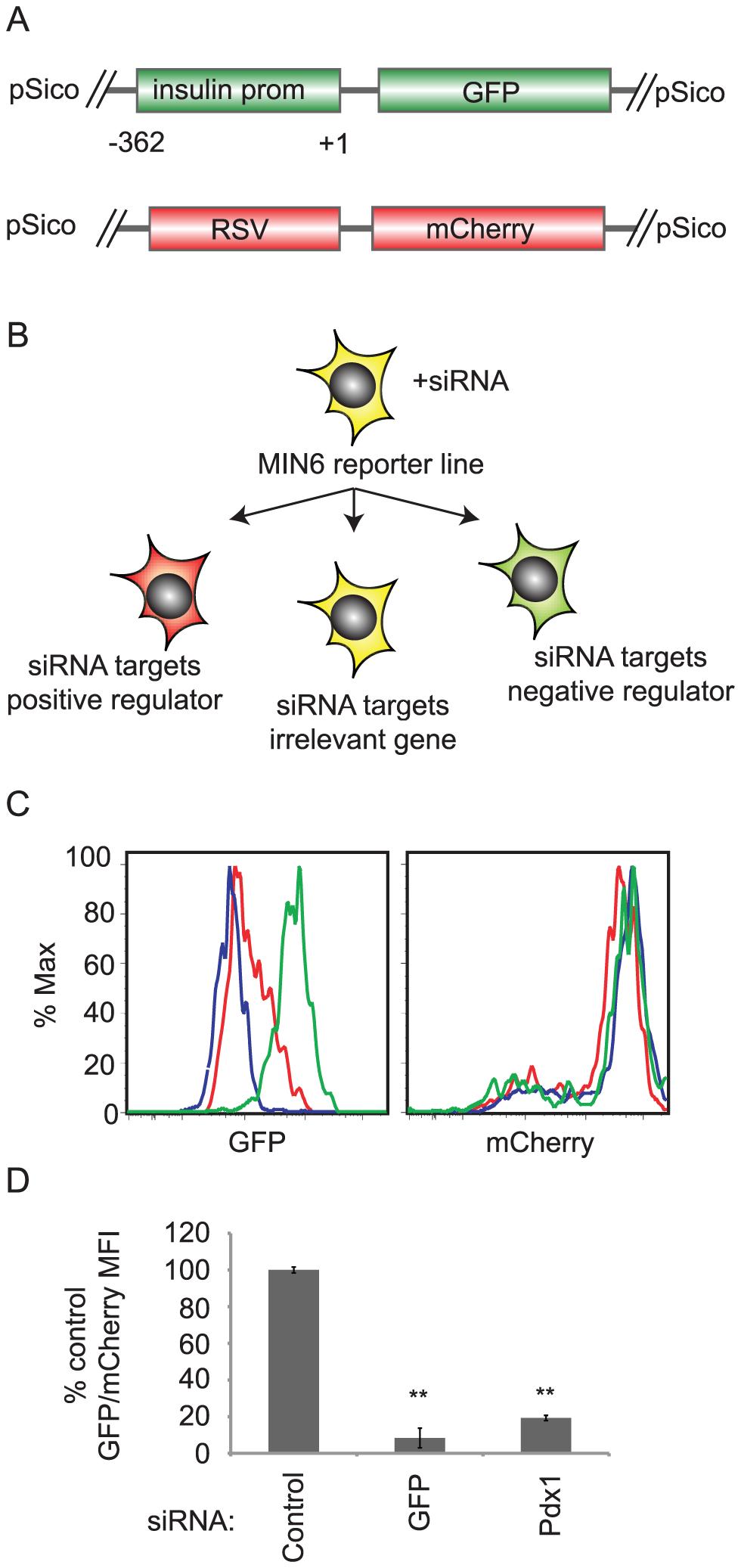 siRNA screening system to identify regulators of insulin promoter activity.