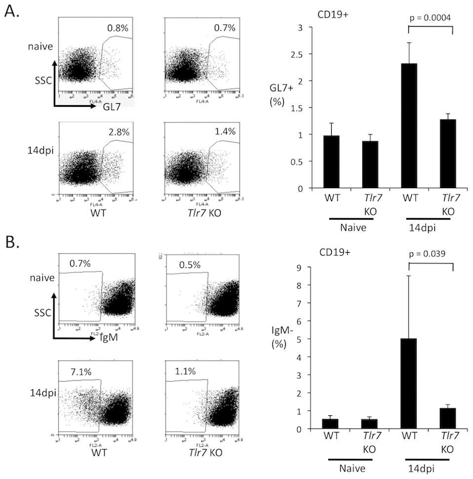 TLR7 is required for the development of germinal center B cells during FV infection.